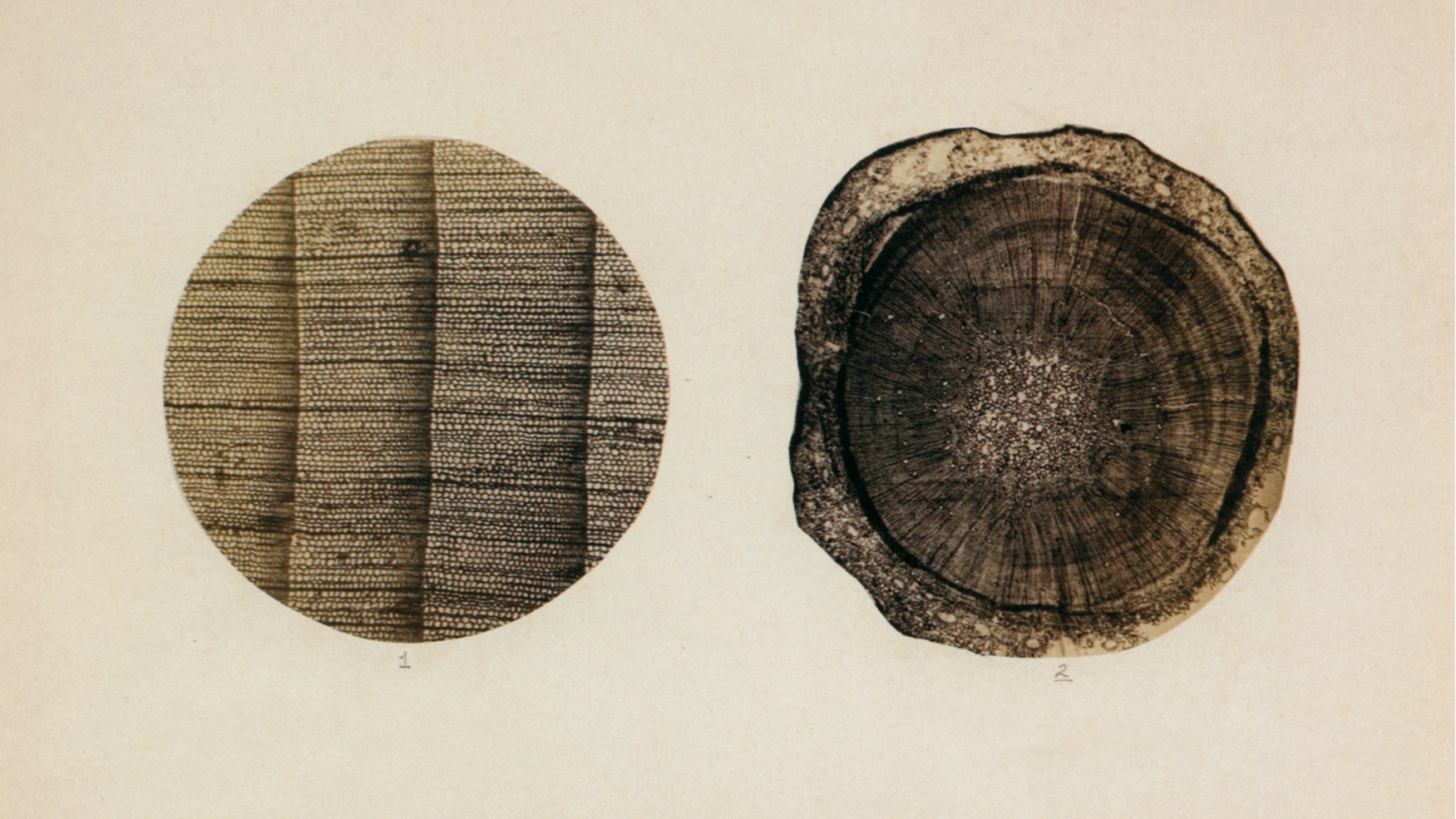 Jules Girard, Photomicrographs of a Fir Tree, 1868.